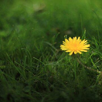 Dandelion by dejones