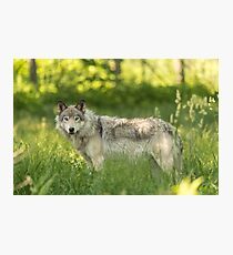 Timber wolf in a forest, Montobello, QC Photographic Print