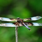 Dragonfly Shimmer  by lorilee