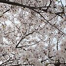 Cherry Blossoms All Around by Mike Ashley