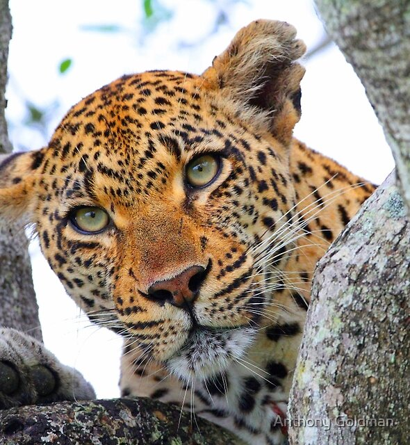 These tree branches are my leopards world! by Anthony Goldman