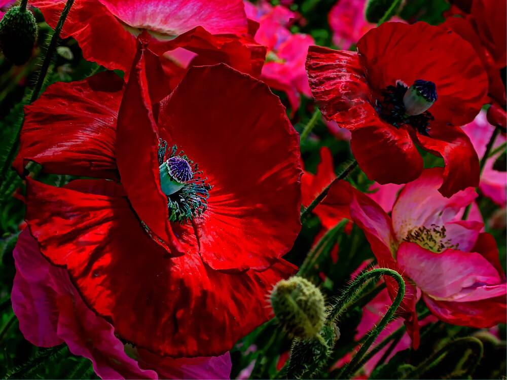 All About The Reds ~ Poppies ~ by Charles & Patricia   Harkins ~ Picture Oregon
