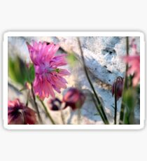 'Clementine Rose' Columbine on Last Day of Spring Sticker