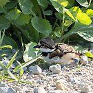 Killdeer Chick By Roadside by Deb Fedeler