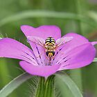 Hoverfly on Pink flower by relayer51