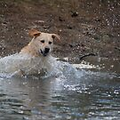 Bouncer-The Labrador Leap of faith by Russell Voigt