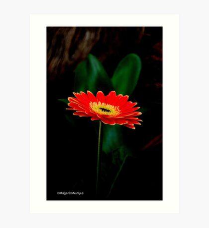 IN THE SHADE - The Barberton Daisy - Gerbera jamesonii  Art Print