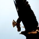 Black Kites by Jack Bridges