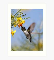 Costas Hummingbird  Art Print