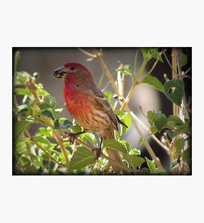 House Finch (Male) Feeding Photographic Print