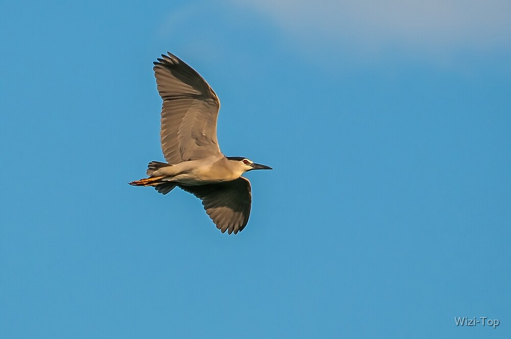 Night heron (ślepowron) by Wizi-Top
