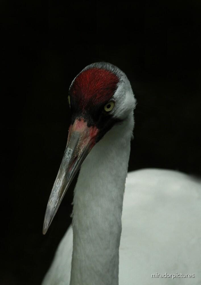 Sandhill crane by miradorpictures