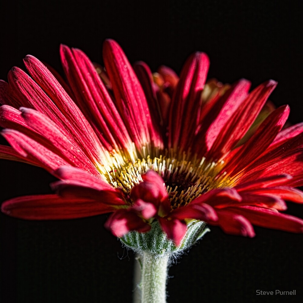 Red Gerbera 1 by Steve Purnell