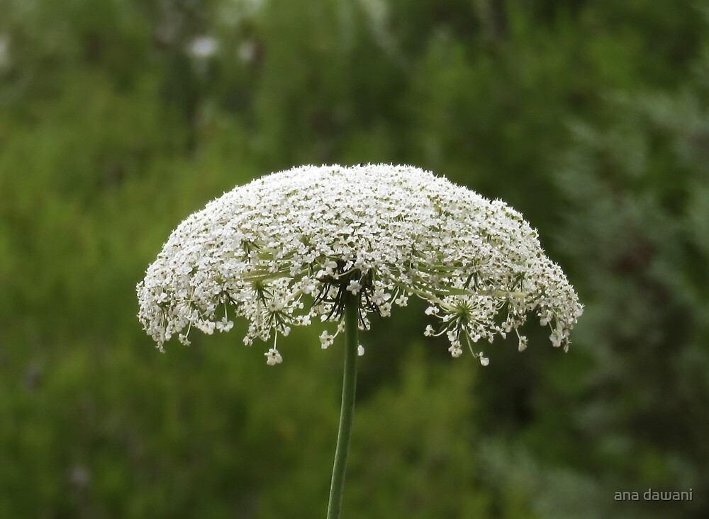 Queen Anne's lace No.2 by anadawani