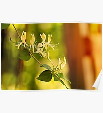 Sunkissed Honeysuckles Poster