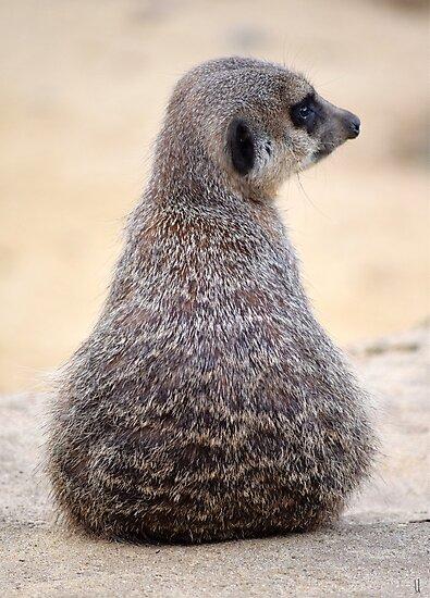 Adorable Meerkat  by UzStore