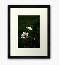 Daisies.  Framed Print