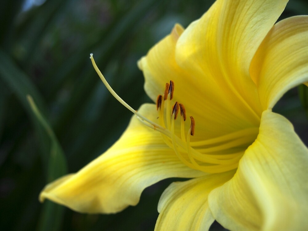 Yellow Daylily from A Gardener's Notebebook by Douglas E.  Welch