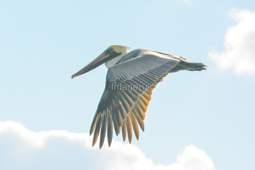 Pelican in Flight by Imagery