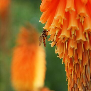 hoverfly in blossom by Cheesybee