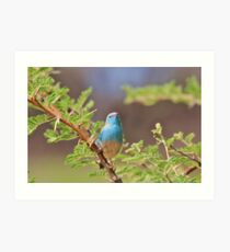 Blue Waxbill - Colorful Wild Birds from Africa Art Print