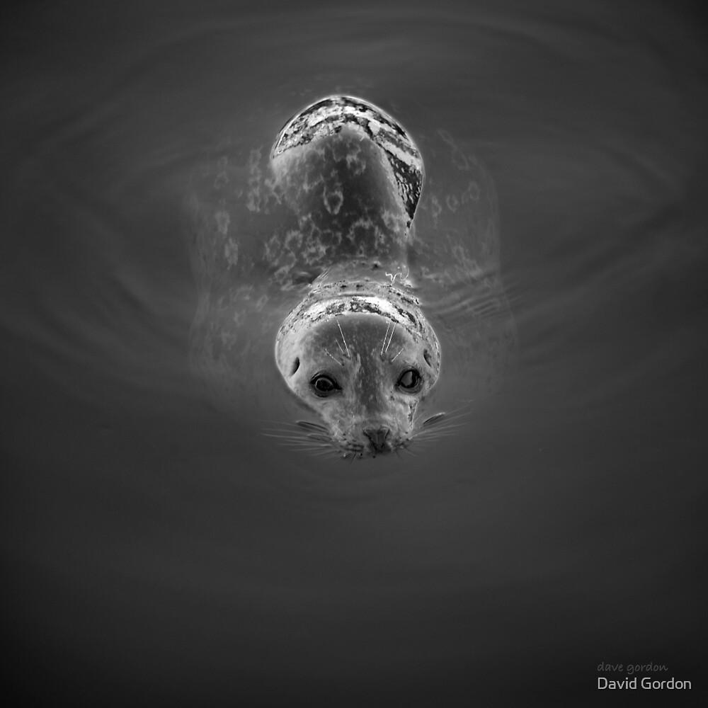 Harbor Seal V BW SQ by David Gordon