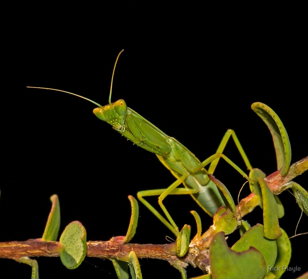 The Mantis by Rick Playle