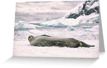 Smiling Weddell Seal - Antarctica by JamesKaoFoto