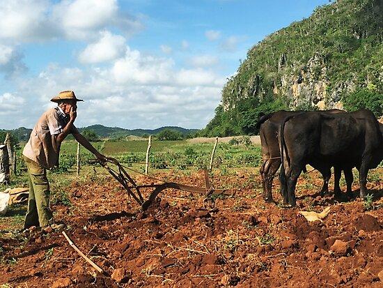 Tobacco Farmer with Ox Vinales Cuba by threadandcolour