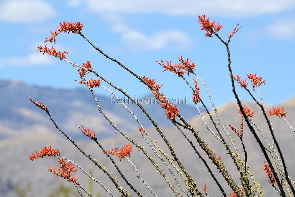 Ocotillo Cactus by Kathleen Brant