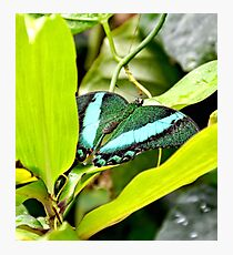 Green Banded Peacock Butterfly Photographic Print