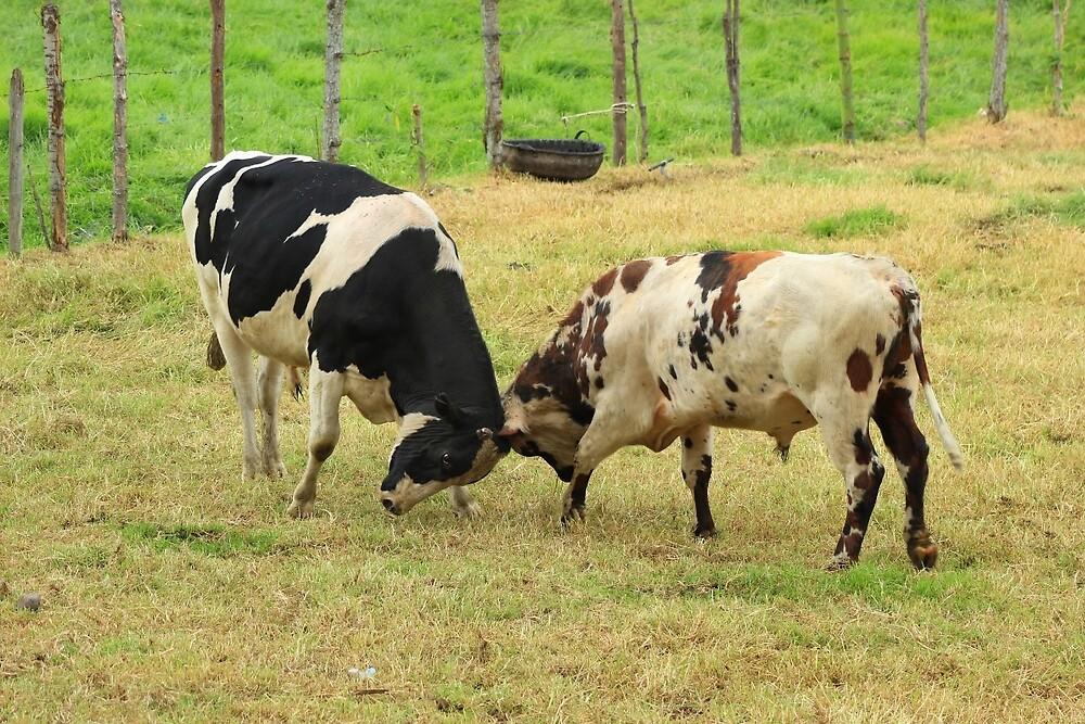 Bulls Butting Heads by rhamm