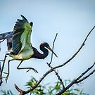 Tricolored Heron by J. Day