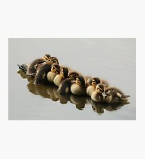 Mallard Ducklings Napping on a Log on Lost Lagoon Lake Photographic Print