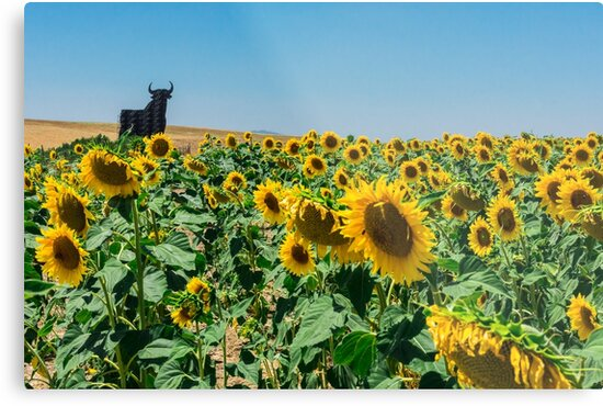 Spanish sunflower field with bull by Carl Rosenvold