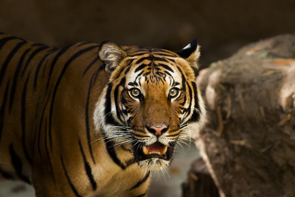 Tiger Wildcat by Sven19864