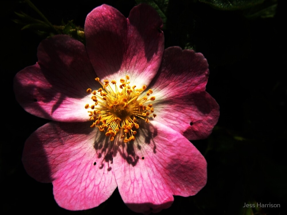 Bright Pink Macro Detailed Flower by fotografix