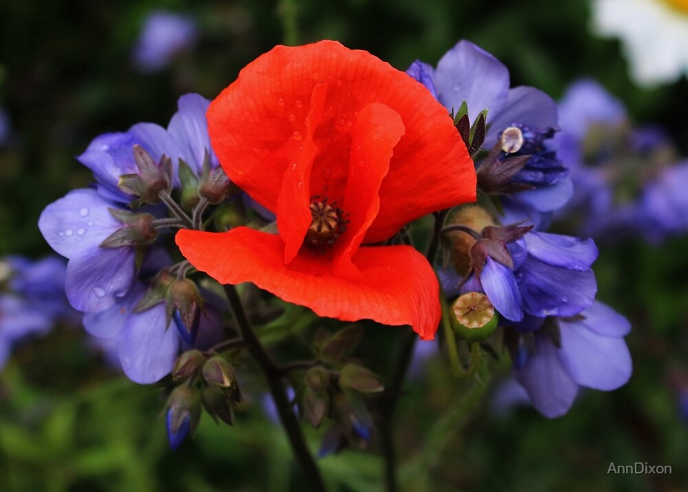 Red Poppy & Jacob's Ladder by AnnDixon