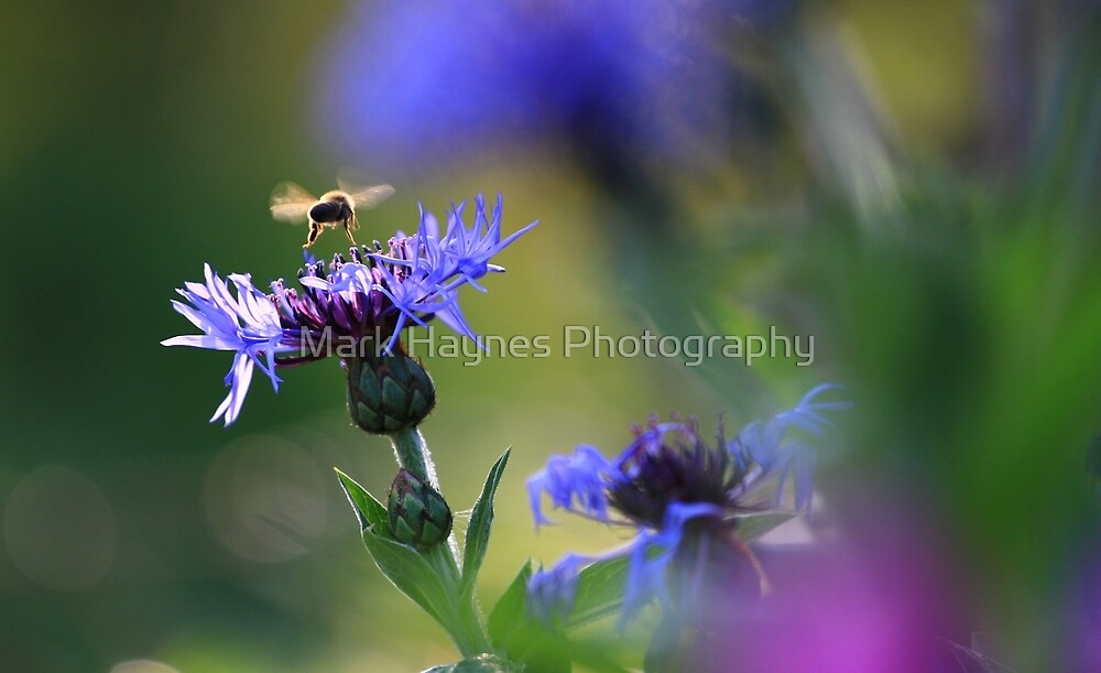 Bee on Mountain Knapweed - Vintage Lens Bokeh by Mark Haynes Photography