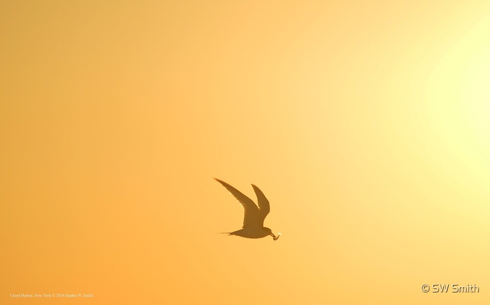 Sternula Antillarum - Least Tern Flying Towards The Sunrise With Fish In It's Beak | Lloyd Harbor, New York by © Sophie W. Smith