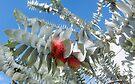 Eucalyptus Rhodantha by DPalmer