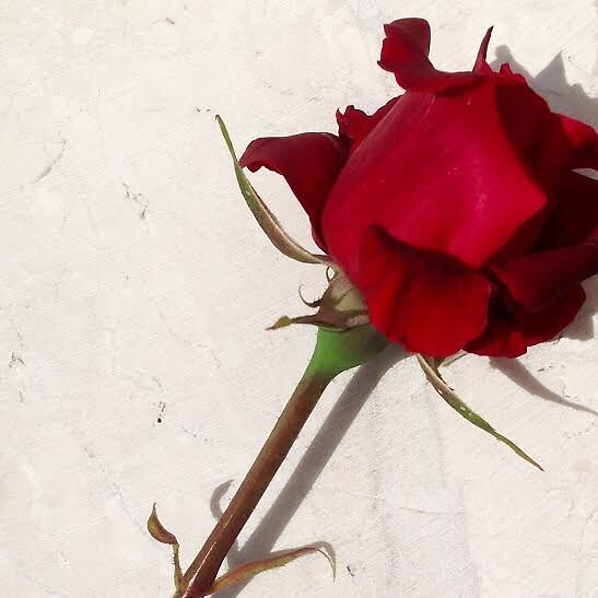 Simple Rose by annazz