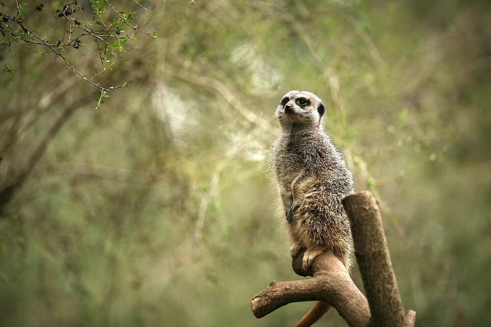Meerkat by Rob Chiarolli