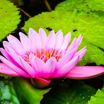 Pink Waterlily by happywandererph