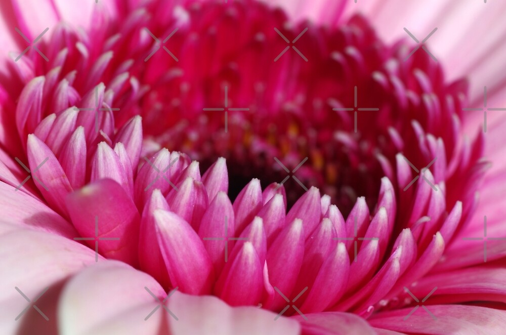 Pink Gerbera by rom01