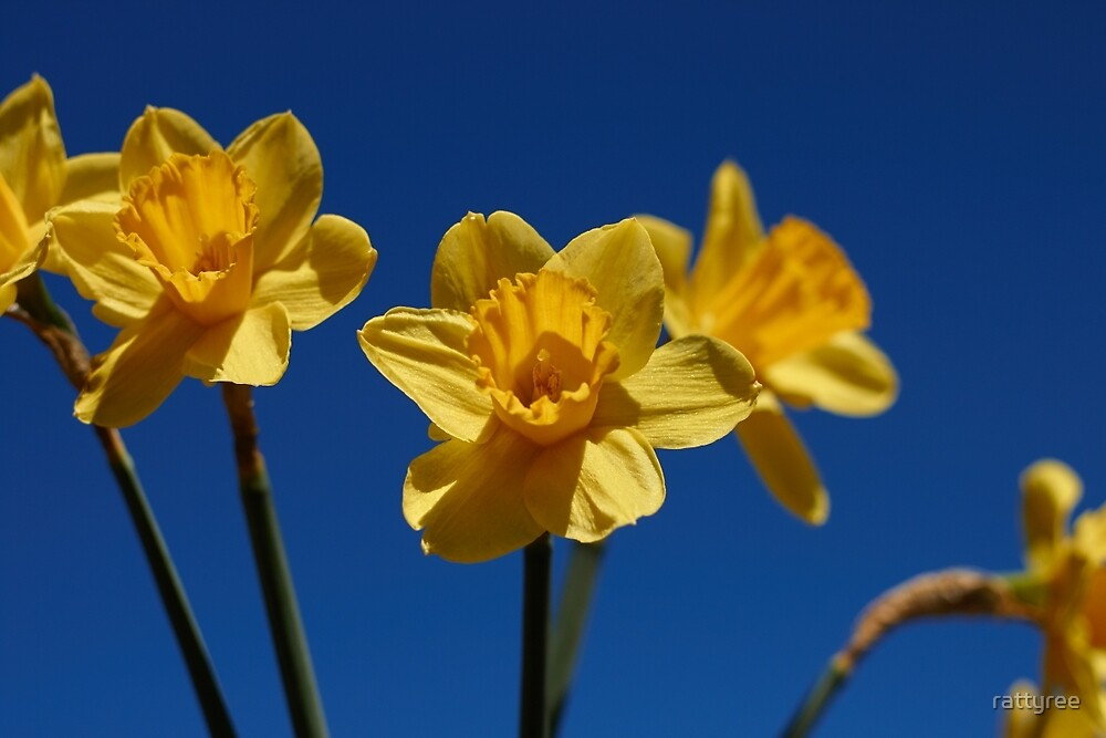 Spring Daffodils by rattyree