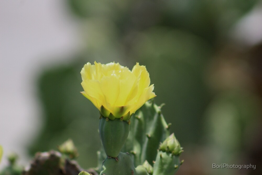 Cactus flower  by BoriPhotography