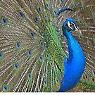peacock by Margaret Shark