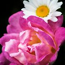 Pink Rose and White Daisy by KellyHeaton