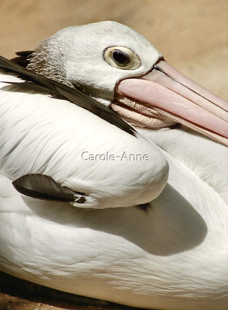 Pelican Portrait by Carole-Anne